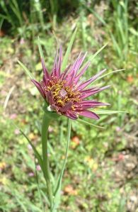 salsify plant